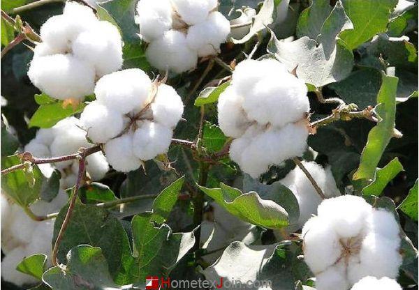 大揭秘:长绒棉和一般全棉有什么区别?